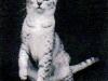 GC Catsadora Silverbelle Of Raceykats