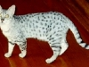 GC Matiki\'s Purr Platinum Of Ambroisie